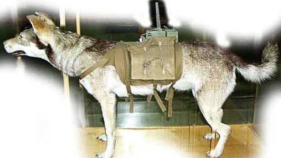 Противотанковая собака